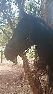 Unhandled 4yr old Andalusian x Wungong Armadale Area Preview