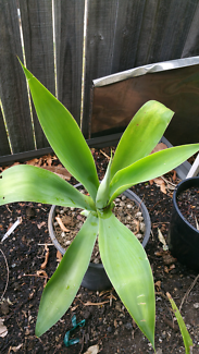 agave and aloe vera Capalaba Brisbane South East Preview