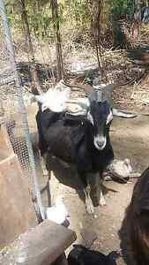 British Alpine buck for sale Obi Obi Maroochydore Area Preview