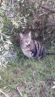 LOST TABBY FEMALE CAT LEDA Leda Kwinana Area Preview