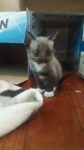 5 kittens - Russian blue x