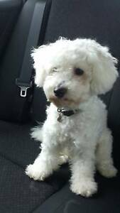 Bischon Frise - Looking For New Home Engadine Sutherland Area Preview