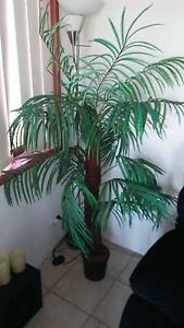 Ldg fake furn .palm tree Mermaid Waters Gold Coast City Preview