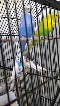 Budgies for sale Ellenbrook Swan Area Preview