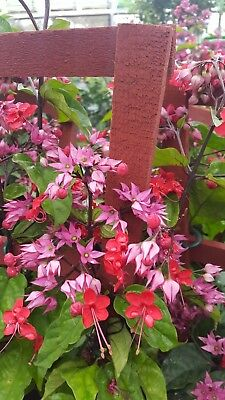 Clerodendrum thomsoniae Dicentra spectabilis Purple Bleeding Heart Live Plant 5