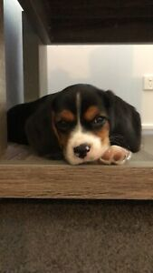 SOLD PENDING - Beagle Puppy
