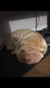 Intact Registered Shar Pei Male REDUCED