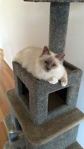Birman Cat Hillside Melton Area Preview