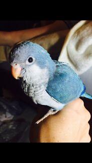 Hand raised baby blue quaker