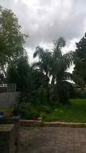 Queen Palm tree for sale Hampton Park Casey Area Preview