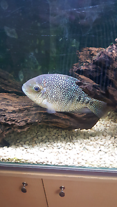 Big Cichlid 4 SALE Sydney City Inner Sydney Preview