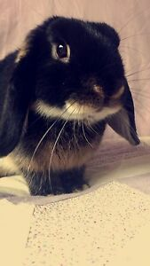 8 month purebred mini lop buck Diamond Creek Nillumbik Area Preview