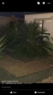 Free dwarf palms x3