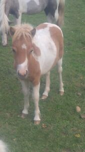 Amha registered miniature filly
