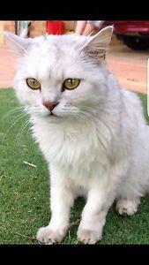 LOST CAT!! Reward if found High Wycombe Kalamunda Area Preview
