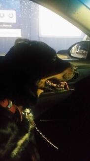 Rotty x kelpie female dog stolen from Yokine
