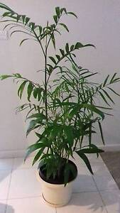 Indoor Plant - Bamboo Palm in a pot Belconnen Belconnen Area Preview
