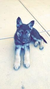 WANTED : German Shepherd or Husky Puppy!! Roxburgh Park Hume Area Preview