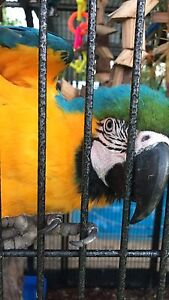 Female Blue and Gold Macaw Noraville Wyong Area Preview