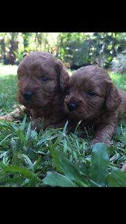 Red Toy Cavoodles