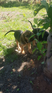 Purebred bloodhound puppies
