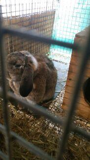 Breeding pair of Rabbits Kyneton Macedon Ranges Preview
