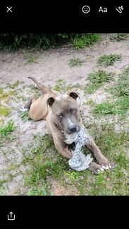 Blue Brindle XL American Staffy