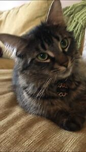 Theo the maincoon mix needs a home!
