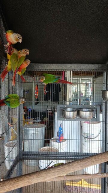 Green cheek conures | Birds | Gumtree Australia Brisbane
