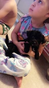 Tiny Toy female poodle yorkie puppies