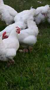 Chicken and roosters  for sale Kingston Logan Area Preview
