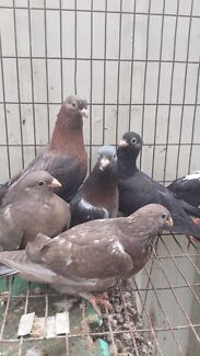 Egyptian swifts and young racers. Racing pigeons healthy birds Silverwater Auburn Area Preview