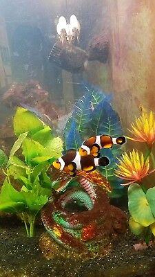 Clownfish pair