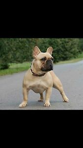 Wanted ANKC mains healthy male French Bulldog Tuart Hill Stirling Area Preview