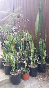 Mother in law tongues potted plants Ryde Ryde Area Preview