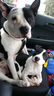 Pure American staffy puppy's  Nar Nar Goon North Cardinia Area Preview