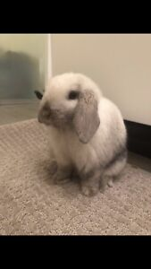 Friendly holland lop for adoption