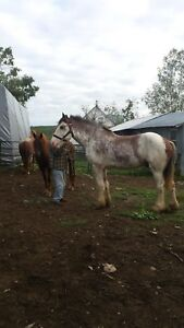 4 Year Old Clydesdale Gelding