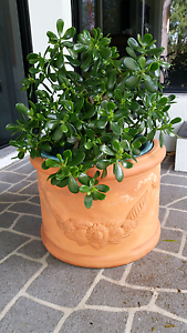 LUCKY PLANTS OR MONEY TREE include Clay Pot Arundel Gold Coast City Preview