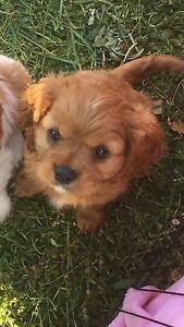 Cavalier King Charles Inverell Inverell Area Preview