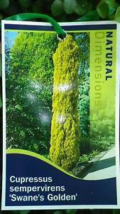 Golden Pencil pines grower direct perth shrub tree Darch Wanneroo Area Preview