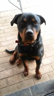 Pedigree Loved Rottweiler  West Hoxton Liverpool Area Preview