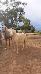 12yo Pally Pinto Pony mare Snowtown Wakefield Area Preview