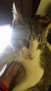 7 month old cat/kitten giveaway Ingle Farm Salisbury Area Preview