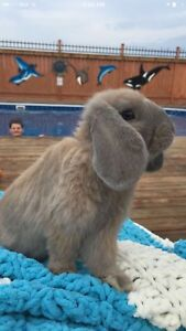 Looking to buy a female bunny that looks like this one