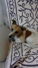 Jack Russell Picton Wollondilly Area Preview