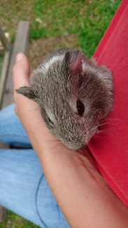 Baby boy grey and white guinea pig