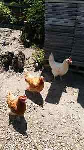 Chicken hutch, fencing and 4 chickens Mountain Creek Maroochydore Area Preview