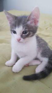 1 Kitten (9 Weeks Old) 4Sale