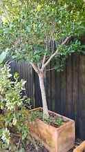 5 x Benjamina Ficus trees in terracotta pots Lane Cove Lane Cove Area Preview
